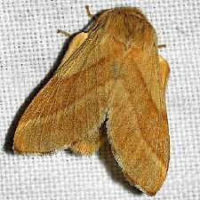 caterpillar_moth